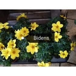 Bidens