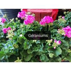 Géraniums