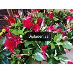 Dipladénias